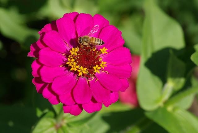 Zinnia elegans, honeybee, Apis mellifera