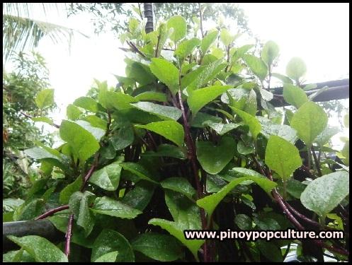 alugbati, alugbate, Malabar spinach, Malabar nightshade, phooi leaf, red vine spinach, creeping spinach, climbing spinach, Basella alba, rubra, vine, vegetables