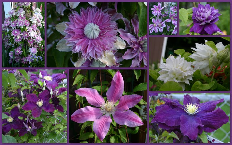 clematis queen of the vines in full bloom sowing the seeds. Black Bedroom Furniture Sets. Home Design Ideas