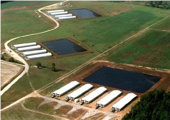 Hình 3: Thiết kế các khu nhà chăn nuôi cự ly gần (Nguồn: www.newsobserver.com)