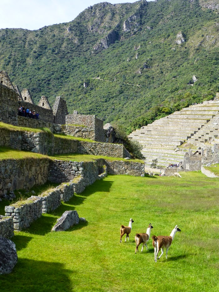 Machu Picchu | Alpacas in the Ruins #travel