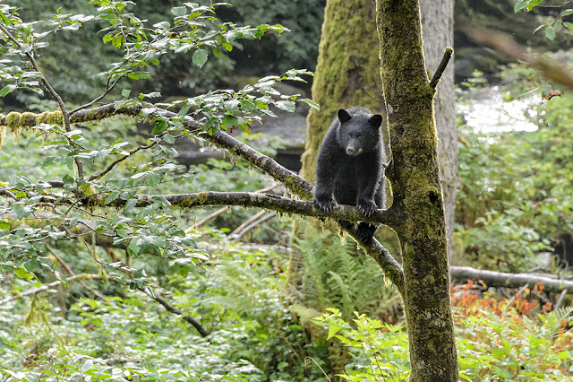 Black Bear Cub in a Tree during Bear Country & Wildlife Expedition