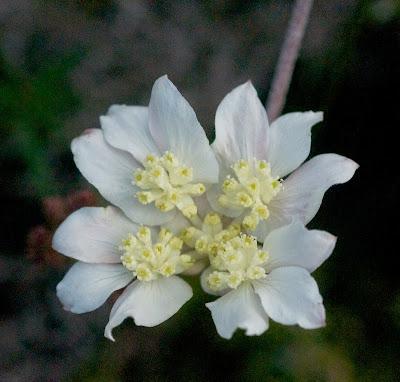 Lesueur Southern Cross (Xanthosia tomentosa)