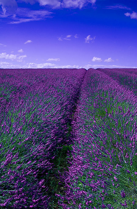 Lavender Love on Pinterest | Lavender, Lavender Fields and ...