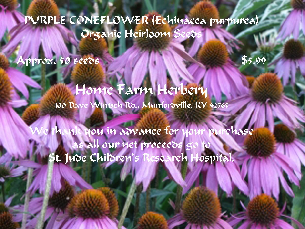 Purple Cornflower Home Farm Herbery
