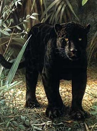 black panther on ground standing