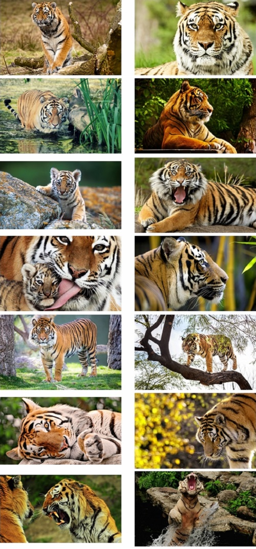 Tiger Animals Theme For Windows 7 And 8
