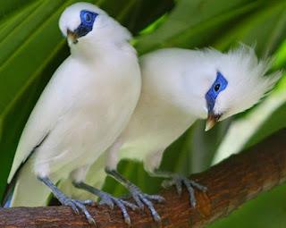 Daftar Harga Burung Jalak Tgl 30 September 2015
