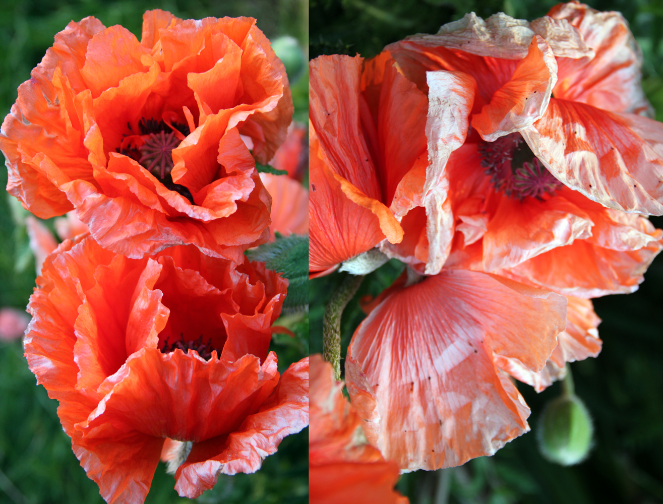 gigantic poppies