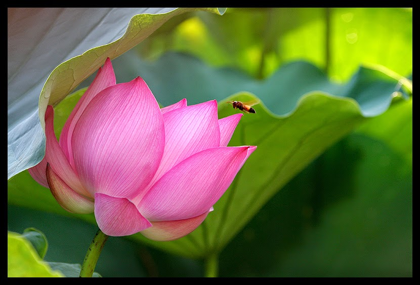 Flor de lotus - Imagenes gratis