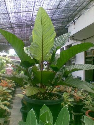 Cara Budidaya Anthurium di Daerah Panas