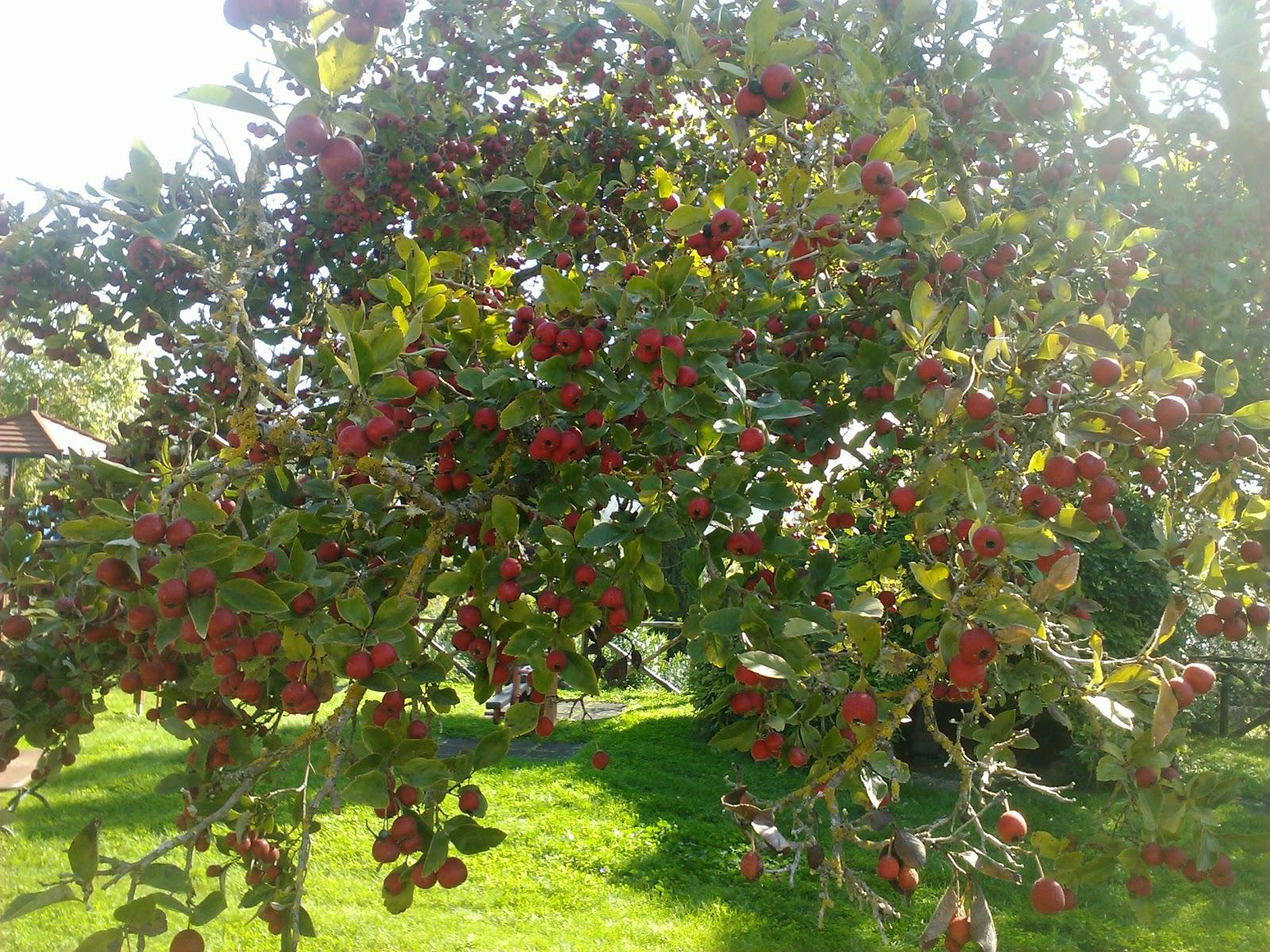 Passione frutta mele ornamentali ma commestibili - Immagini stampabili di mele ...