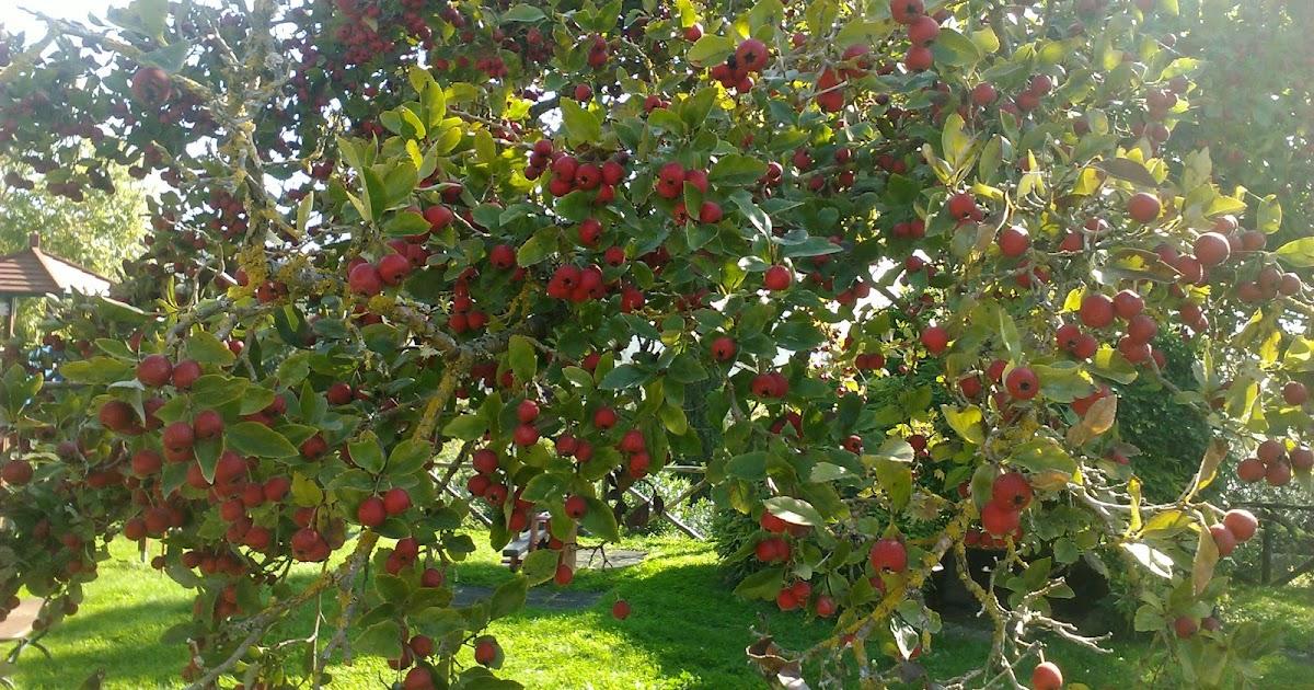 Passione frutta mele ornamentali ma commestibili for Alberelli ornamentali