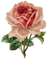 old fashioned drawing of a pink rose