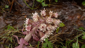 Common butterbur flower