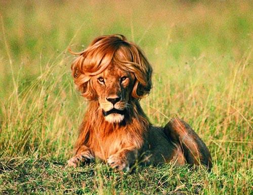 Résultat d'images pour images lions drôles