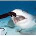 Rupa Dalam Mulut Ikan Jerung Bagi Sape Yang Belum Pernah Lihat