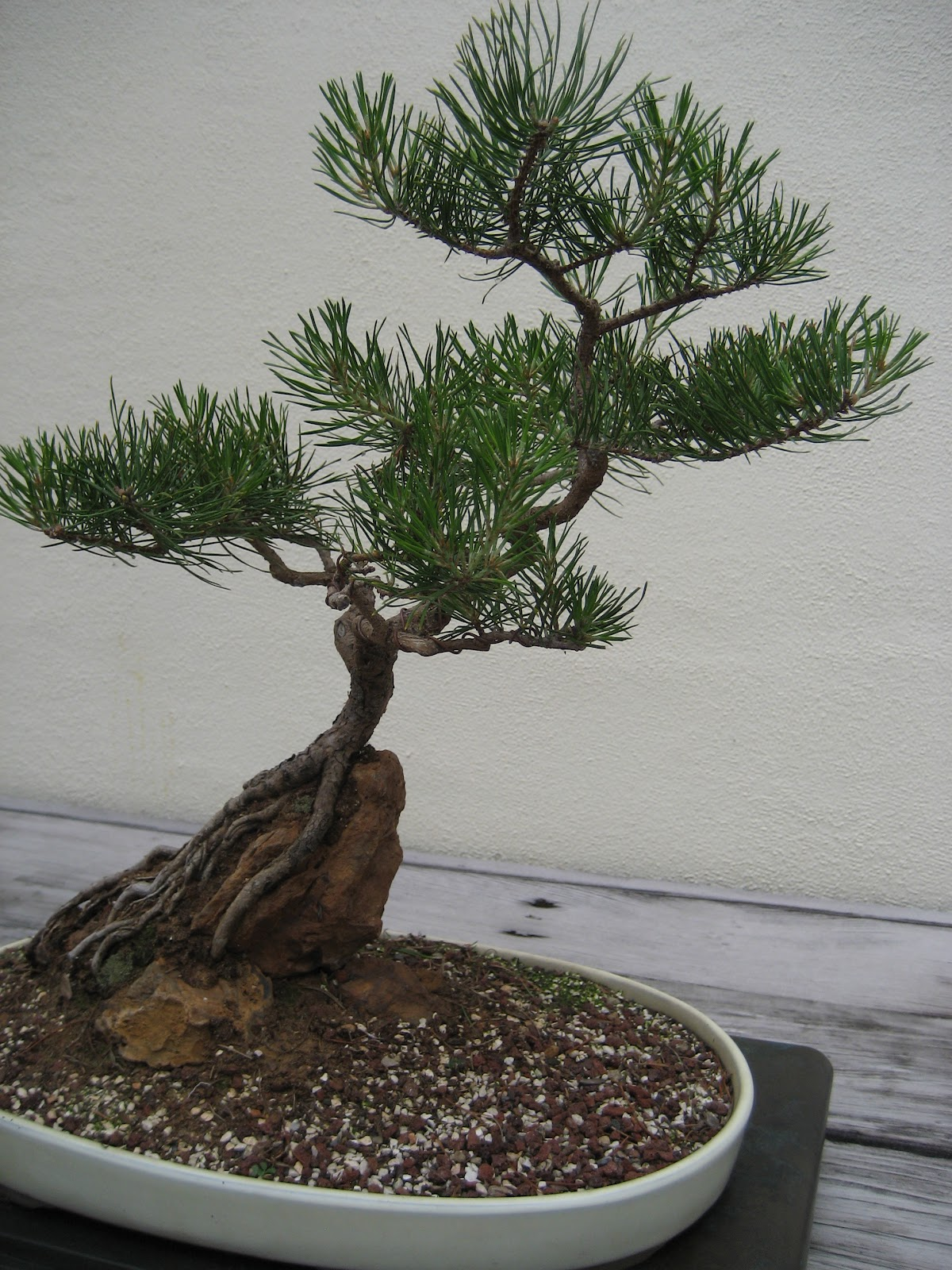 The Garden Aker Scrub Pine Bonsai