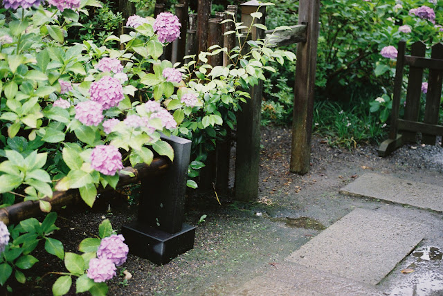 pink hydrangeas and a path