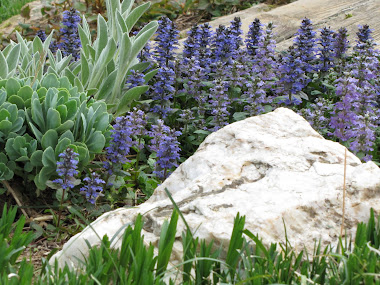 Lamb's Ear and Blue Ground Cover in Rock Garden