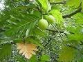 Manfaat daun sukun mengobati penyakit ginjal