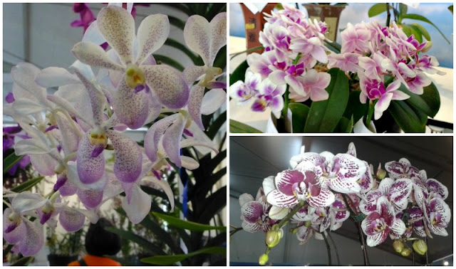 white-purple-spotted-dappled-orchids