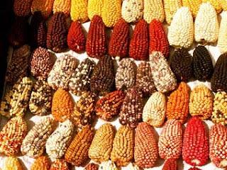 Variedades diversas del maíz en Perú peligran por los transgénicos