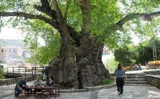 Hıdırbey Musa Ağacı