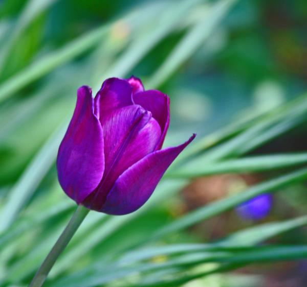 Flowers For Flower Lovers Purple Tulip Flowers Pictures