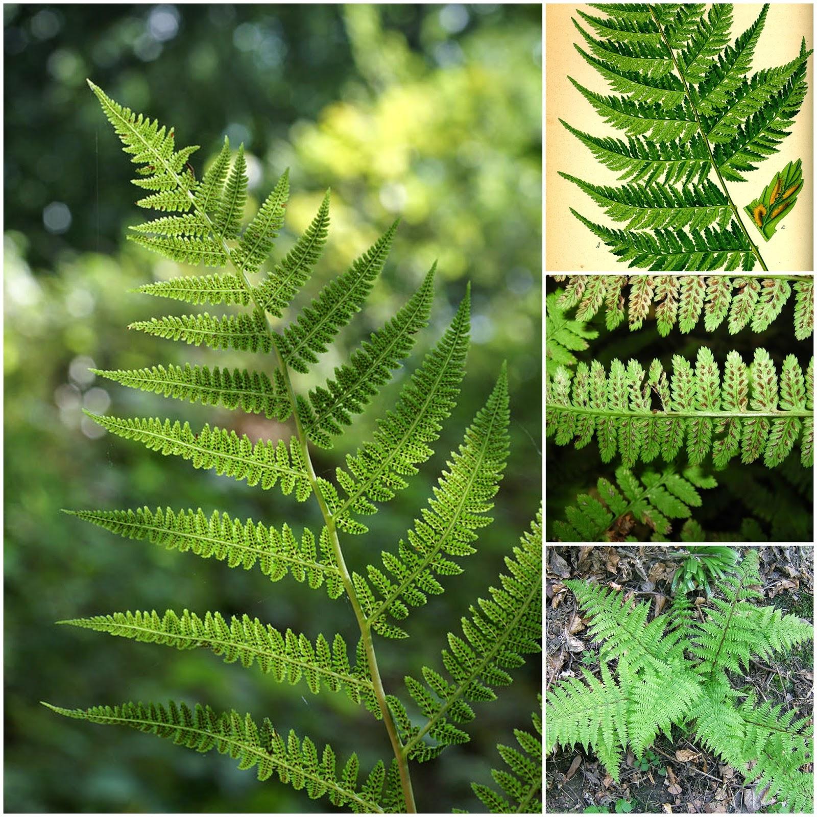 Misterios con Xana: Misterios del mundo vegetal: Helecho