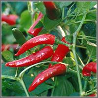 Острый перец сорт «Огненный вулкан»