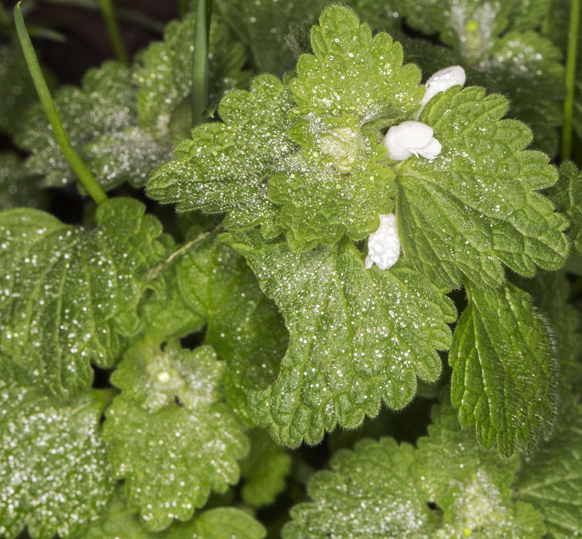 Some Winter Flowering Nettles Naturally