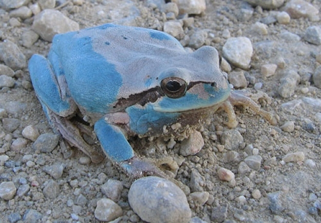 8 oddly colored creatures, amazing creatures, Blue Tree Frogs
