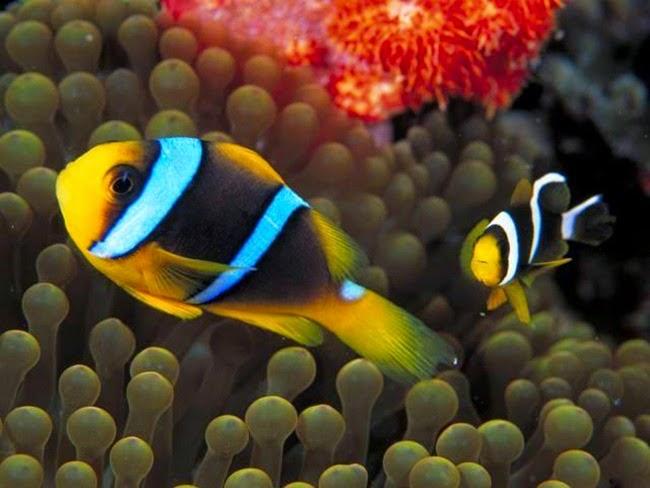 أجمل الأسماك الاستوائية الملونة   - صفحة 2 Colorful-tropical-fishes-06