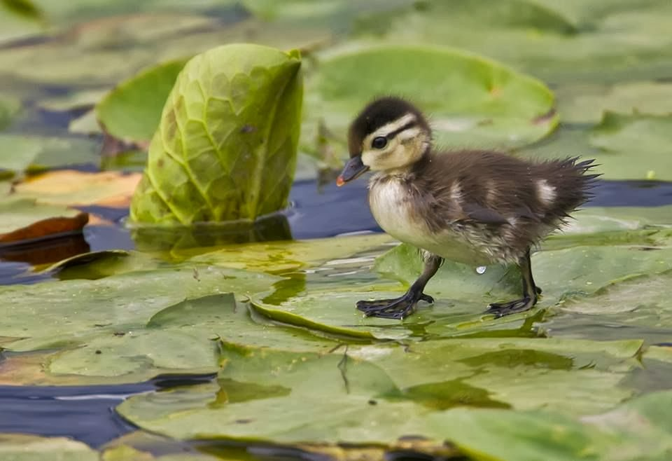 Funny animals of the week - 21 February 2014 (40 pics), baby duck walks on lotus