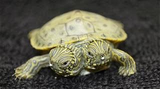 Γεννήθηκε χελώνα με δυο κεφάλια στο Τέξας (Βίντεο)