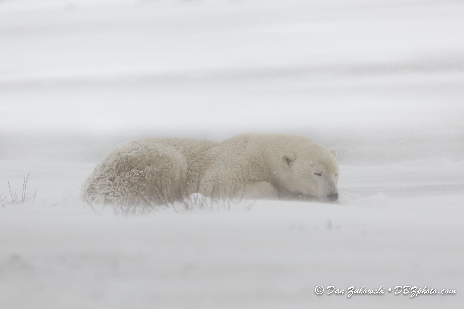 sleeping polar bear on snow