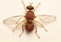 ذبابة ثمار الخوخ