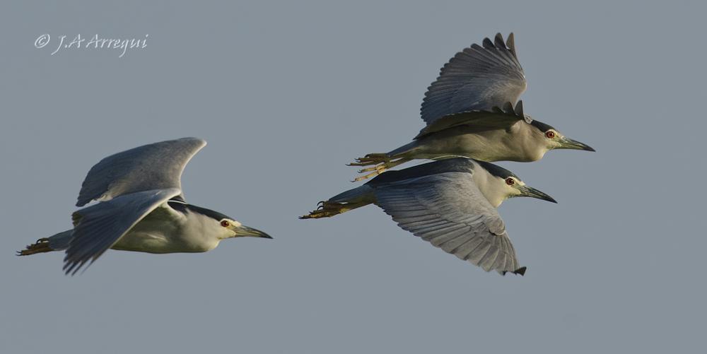 Martinete, Nycticorax nycticorax, Black-crowned Night Heron