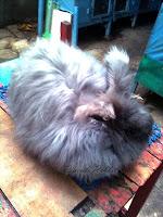 Jenis-jenis kelinci, Anggora Satin