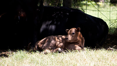 A brindle calf resting against its black mama.