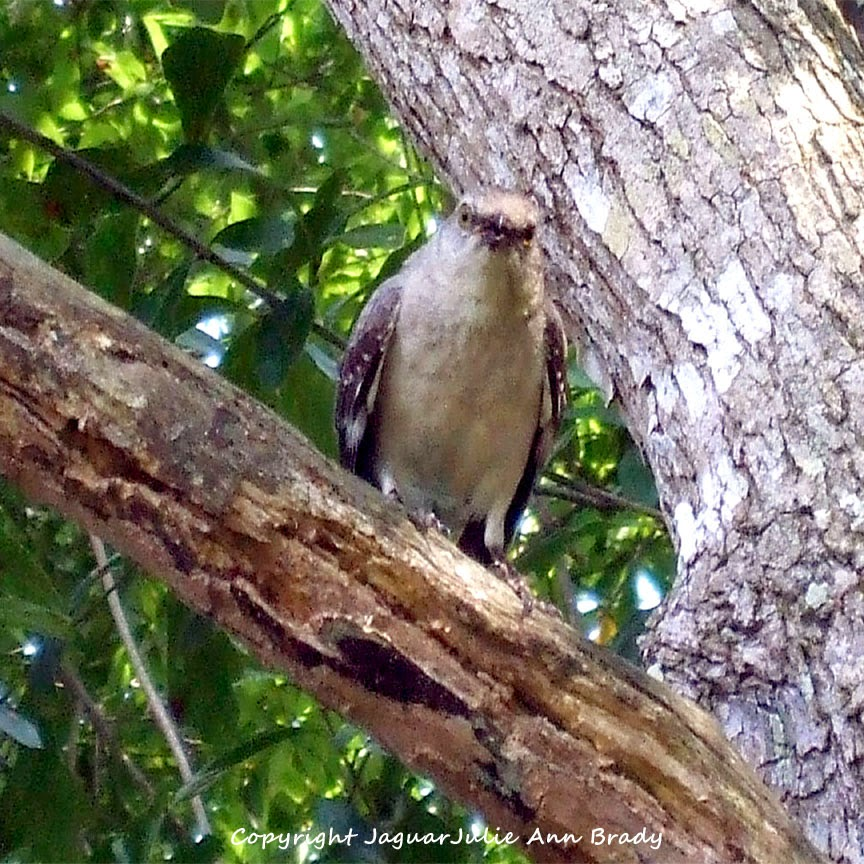 Adult Mockingbird Protective Behavior 11