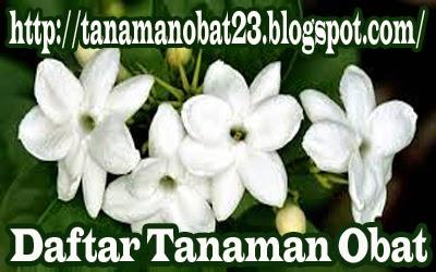 Tanaman Obat Melati (Jasminum sambac, Ait.)
