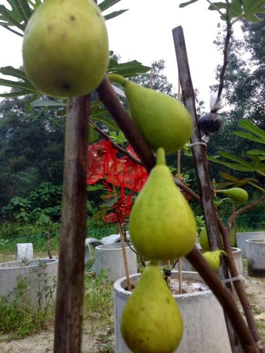 Figs : DALMATIE