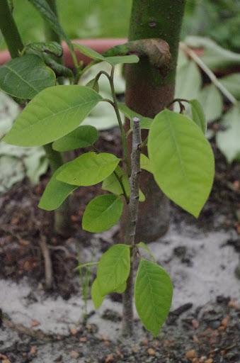 Cherimoya - vom Kern zur Pflanze