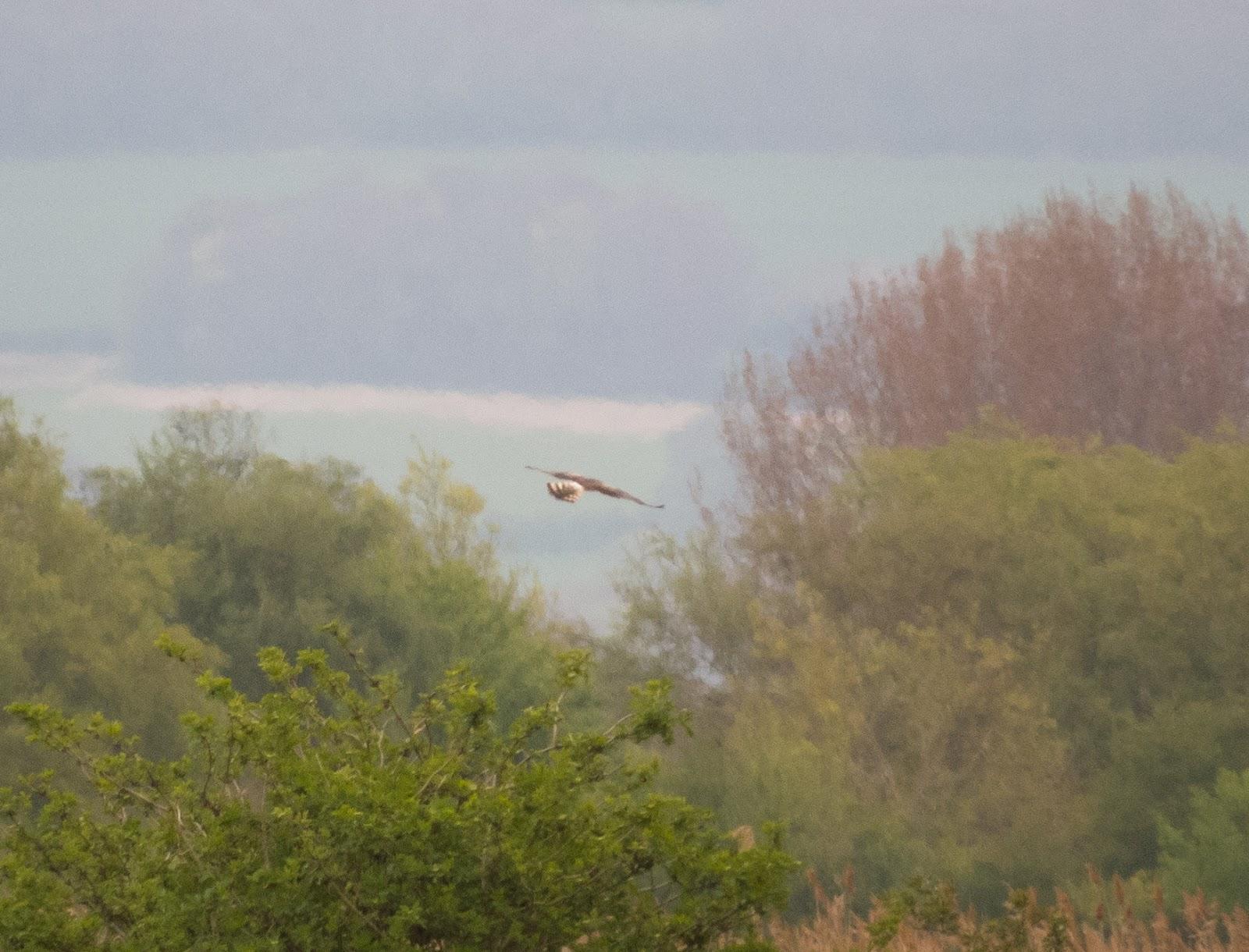 Montagu's Harrier - Blacktoft Sands RSPB