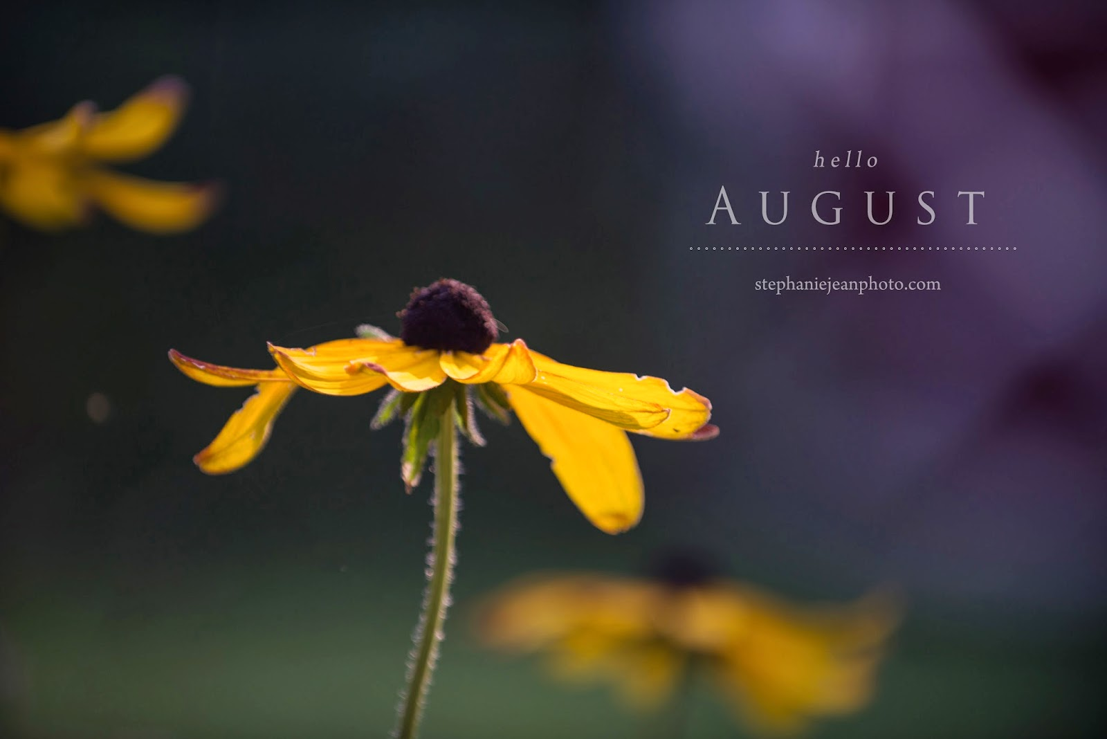 Black eyed susan Long Island Photographer