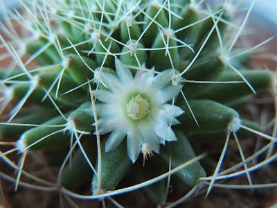 Floare de cactus