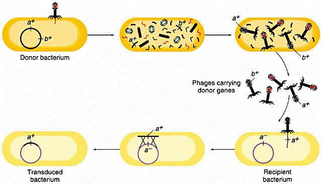 Of bacterial transduction transduction in this process bacteria