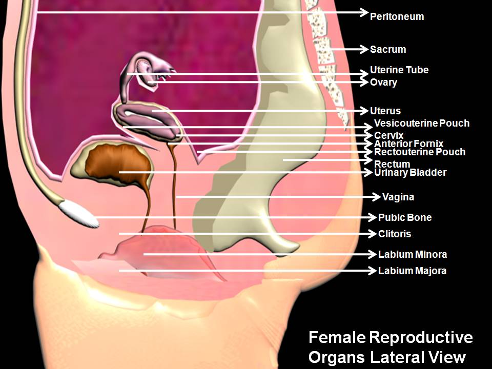 Subhaditya Infoworld Human Female Reproductive Organs And Process